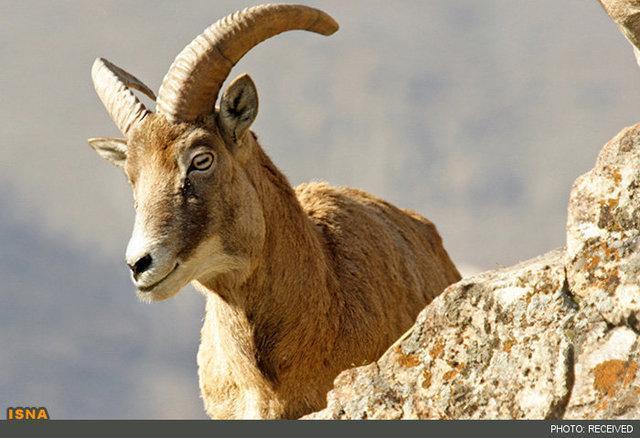 چهارشاخ نورآباد؛ مأمن امپراطور صخره ها