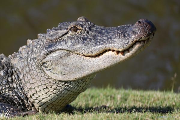 صید تمساح قاتلی که یک مرد را خورد