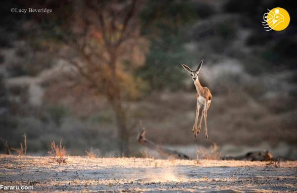 (تصاویر) مسابقه عکاسی کمدی حیات وحش در سال 2021